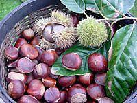 U Lovranu 15. listopada počinje tradicionalna Marunada