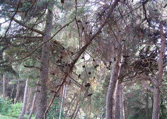 Odrezano 30-tak suhih i opasnih borova u rekreacijskoj zoni