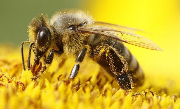 EU zabranjuje kemikalije koje dokazano štete pčelama