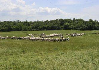 Agrolaguna traži 30 berača maslina i 5 ovčara