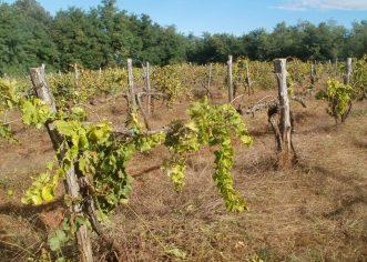 Otvoren natječaj za sanaciju vinograda od bolesti zlatne žutice