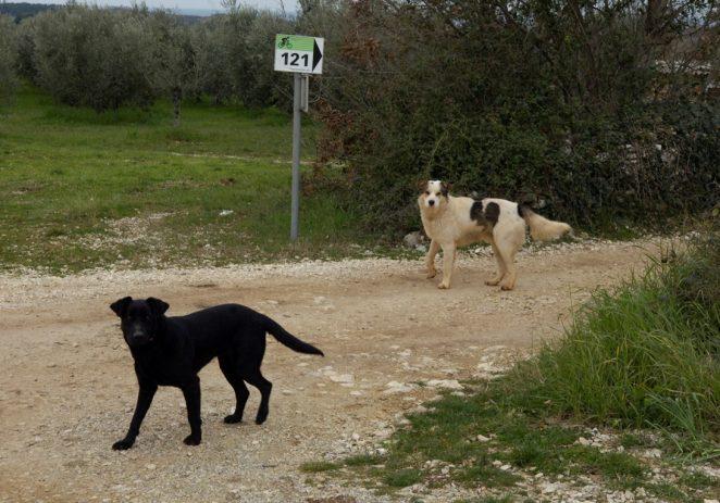 Vabriga: Čopor pasa lutalica zaklao dvije koze, mještani u strahu