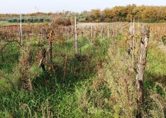 Poziv za prijavu podataka o zapuštenim vinogradima na području Općine Vrsar-Orsera