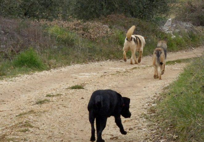 Čopor pasa bez kontrole i dalje kolje domaće životinje po Vabrigi