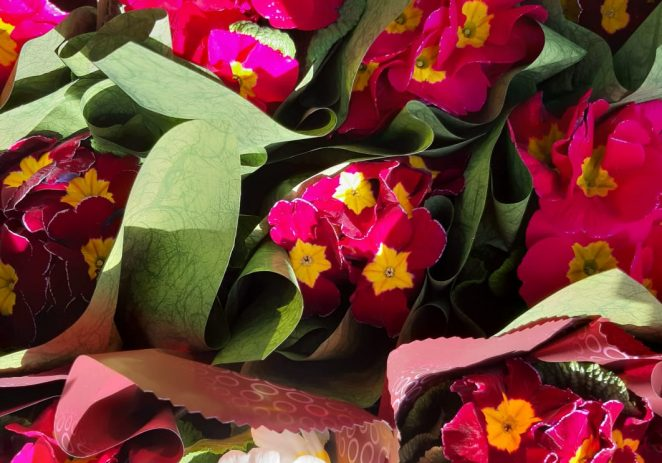 Volonterke Crvenog križa Poreč i ove će godine najstarijim sugrađankama uručiti cvijet prigodom Dana žena