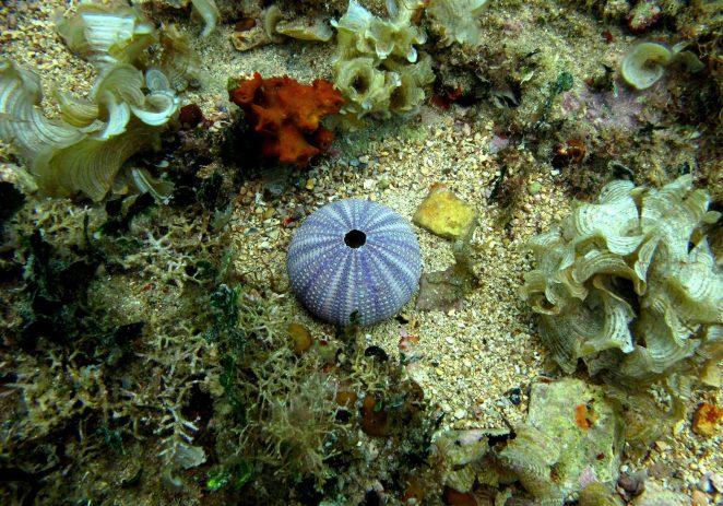 Pomor morskih ježinaca u području porečkog akvatorija