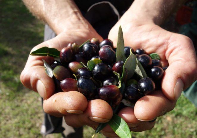 Istra je opet proglašena najboljom maslinarskom regijom na svijetu. To je najveći uspjeh hrvatske gastronomije ikad !