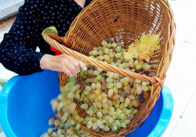 Korisnici Doma za starije i nemoćne osobe Poreč toplo su rujansko jutro proveli u berbi grožđa